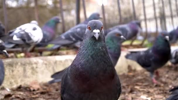 Wild birds on the street. A curious pigeon looks at the camera against the background of other pigeons