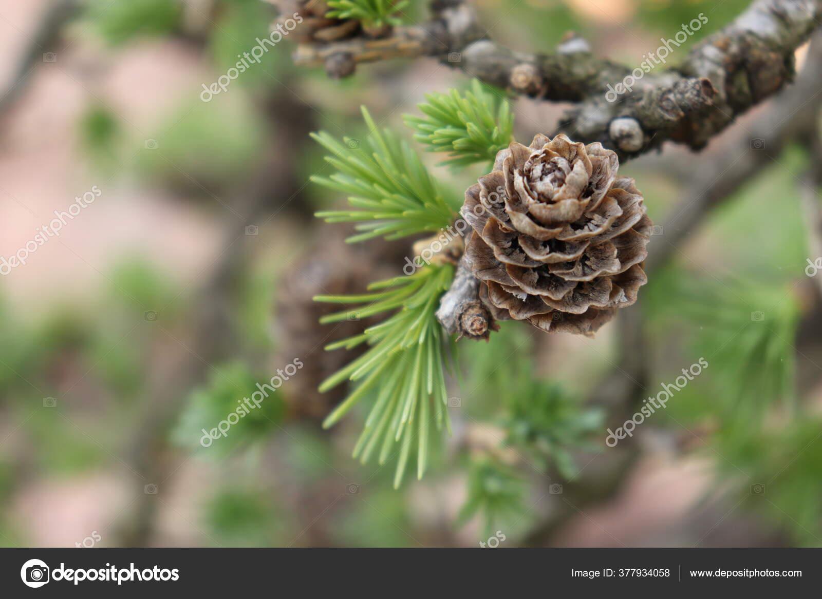 Pine Tar Stock Photos Royalty Free Pine Tar Images Depositphotos