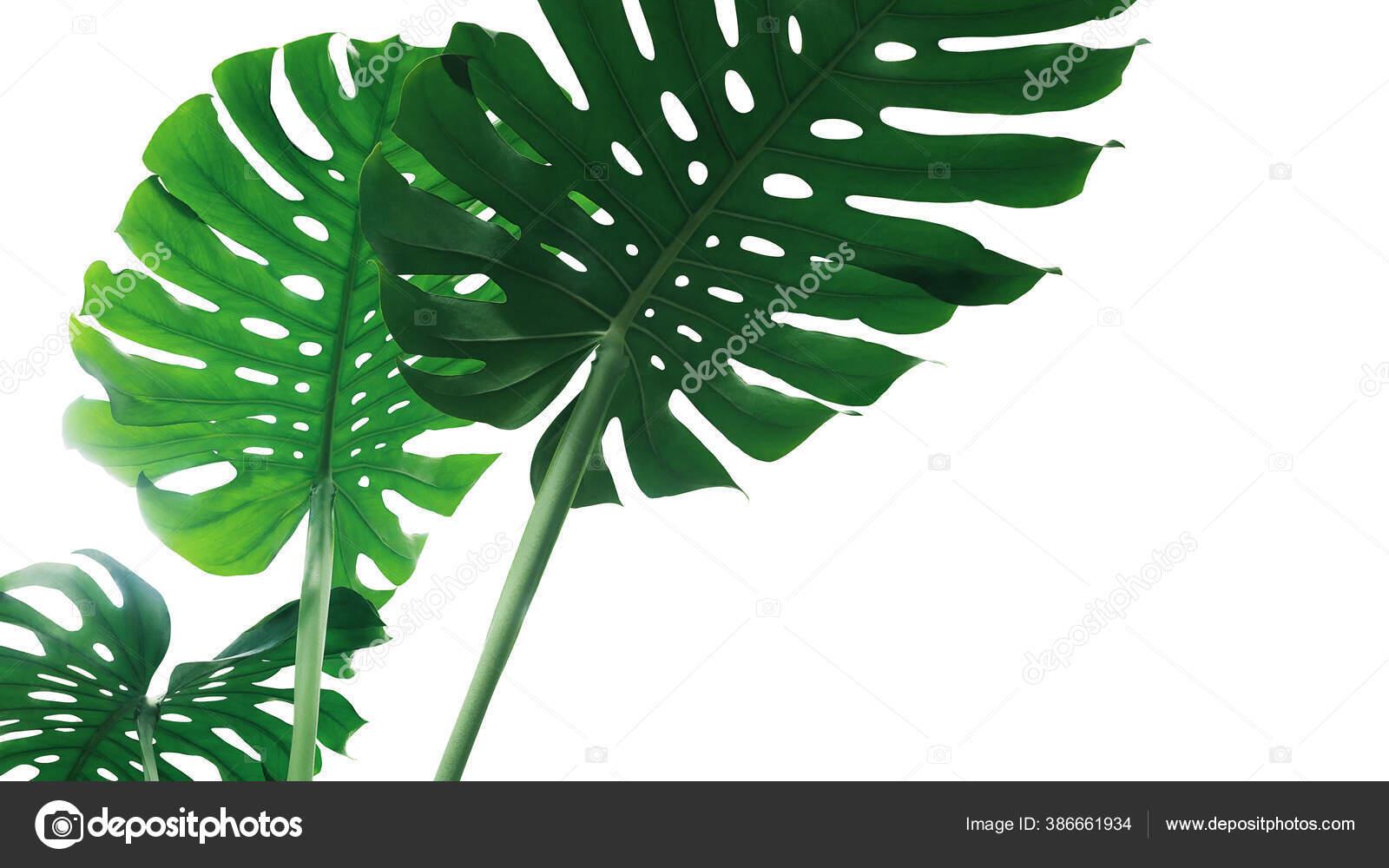 depositphotos 386661934 stock photo green leave monstera plant split