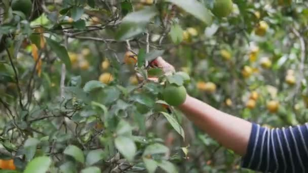 Seniorin greift zur Handschere oder Gartenschere und schneidet Äste und Zweige von Linden im Biobauernhof, Pflanzenpflege und aktive Seniorenkonzepte.