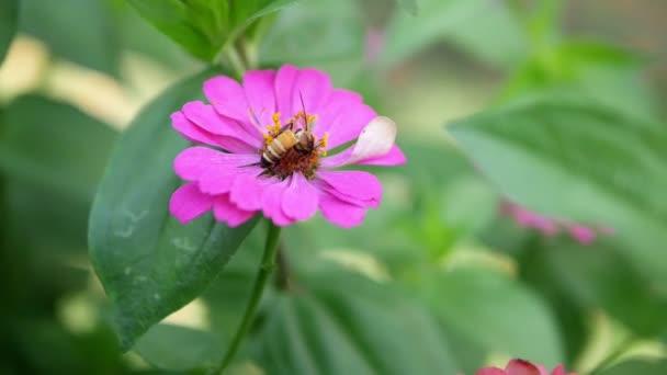Med včela opylení pracuje na růžové květy Zinnia populární okrasné květiny rostlina v letní zahradě příroda pozadí, květiny kymácející se ve větru a včely odlétnout.