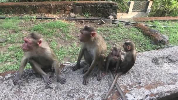 Mumbai, India - Monkeys play on the field part 5