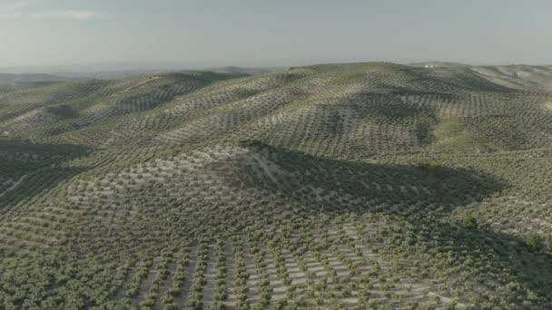 Pohled na venkovskou scénu tvořenou řadami olivovníků symetricky při západu slunce