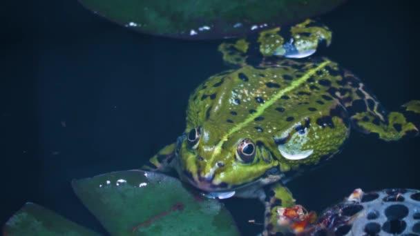 Nahaufnahme von Frosch, der im Wasser schwimmt.