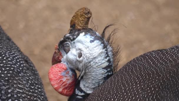 Close up of female guinea fowl bird head looking around