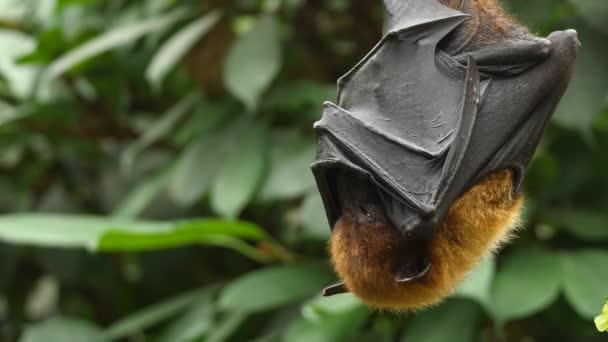 Nahaufnahme von Flying Fox, der herabhängt