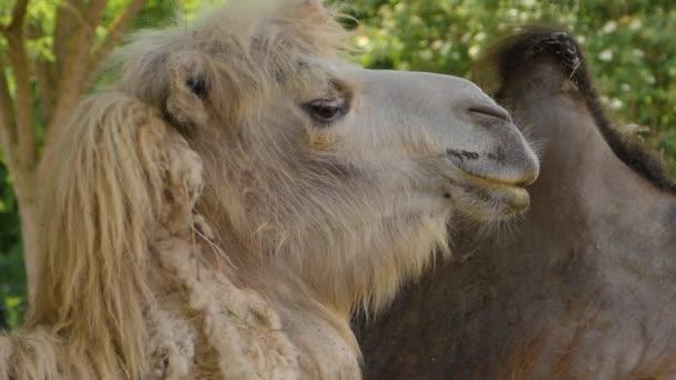Nahaufnahme von Kamel, Dromedar
