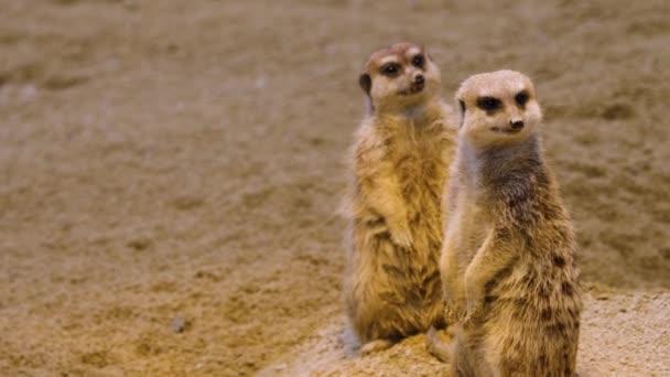 Close up of meerkats