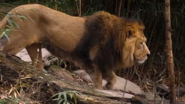Közelkép az oroszlánról