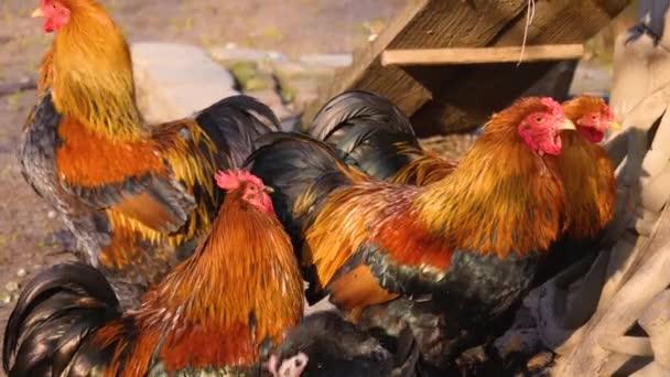 Detailní záběr na čtyři samce kuřecího kohouta na slunný den na podzim
