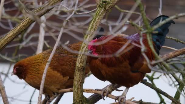 Großaufnahme von Huhn und Hahn auf einem Ast an einem sonnigen Herbsttag