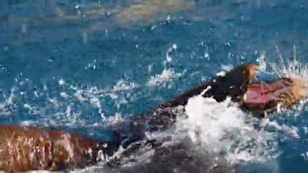 Detailní záběr lachtanů hrajících si ve vodě