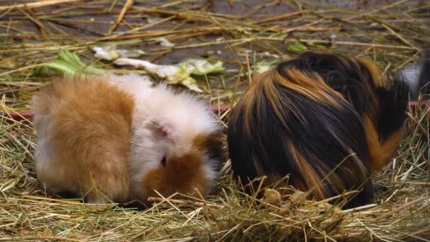 Close up of guinea pigs in hey