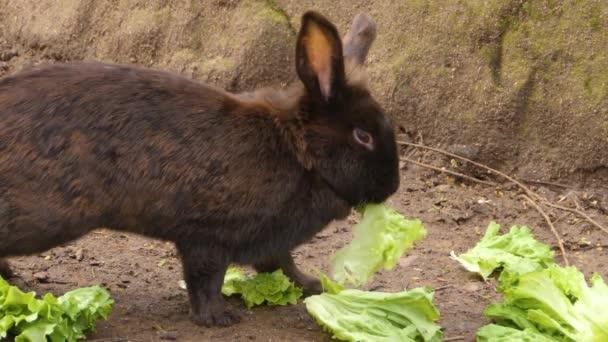 Két fekete nyuszi salátát eszik..
