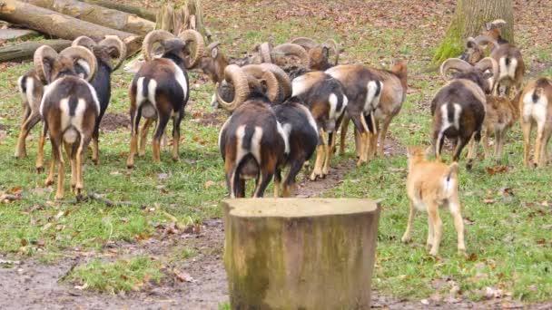 Weitwinkelaufnahme einer Gruppe Mufflons, Widder von hinten stehend auf einer Wiese an einem sonnigen Herbsttag