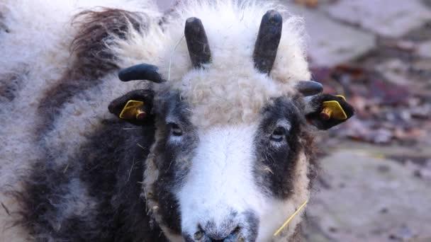 Zblízka Jacob ovčí hlava s legrační stříhání vlasů