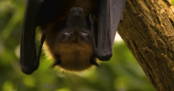Großaufnahme von Kopf und Flügelspitze einer Flughund oder eines fliegenden Fuchses, der kopfüber in die Kamera hängt. Die Flügel sind über den Körper gefaltet und bedecken Nase und Mund. Es öffnet seine Flügel und beginnt zu zittern