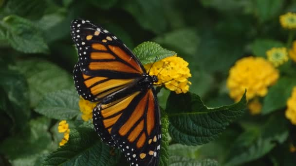 Közelkép Monarch pillangó gyűjtése nektár a virágok