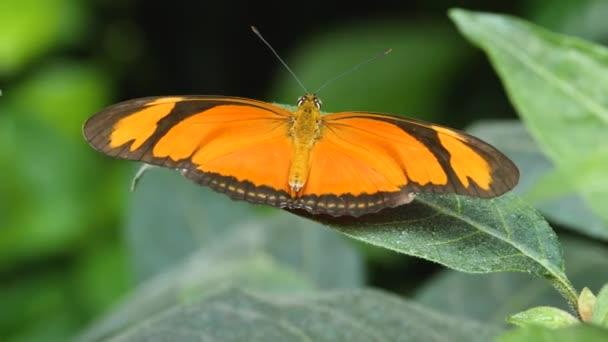 Detailní záběr Juliina motýla sedícího na listu.