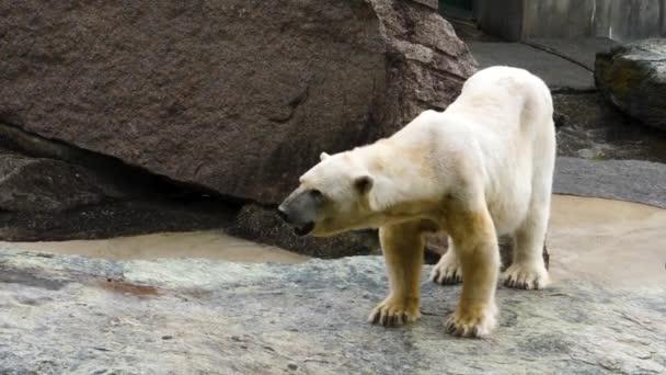 Közelről jegesmedve állt a sziklákon és mozgatta a fejét