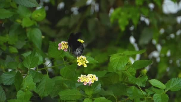 Macro shot of a scarlet mormon butterfly in slow motion