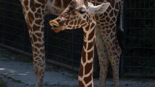 A zsiráf fej, nyak és test közelsége