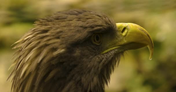 Zavřít orlí hlavu od oka a zobáku. Rozhlížet se.