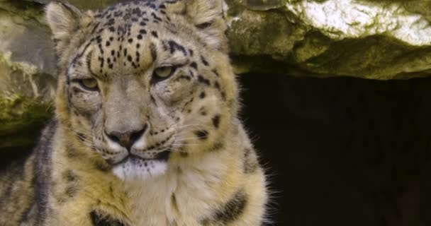 Close up of snow leopard on a cloudy and cold autumn day