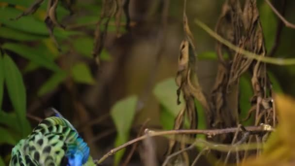 A colorful parrot sits ona thin branch holding a stem with small seeds attached. It drops the stem, then reaches down below to another branch to get more.