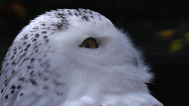 Nahaufnahme des schneebedeckten Eulenkopfes, der sich umschaut