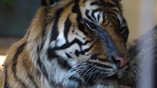 Zblízka tygří hlava zepředu se rozhlíží kolem
