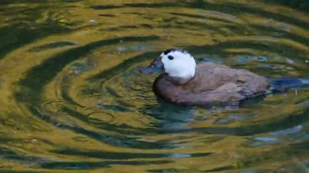 Close up of blue-billed Duck on a lake grooming it self