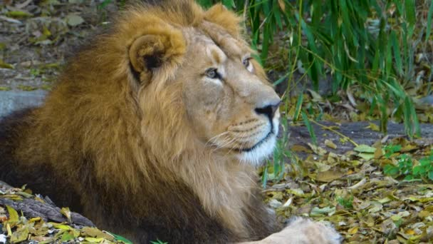 Közelkép oroszlán feküdt.