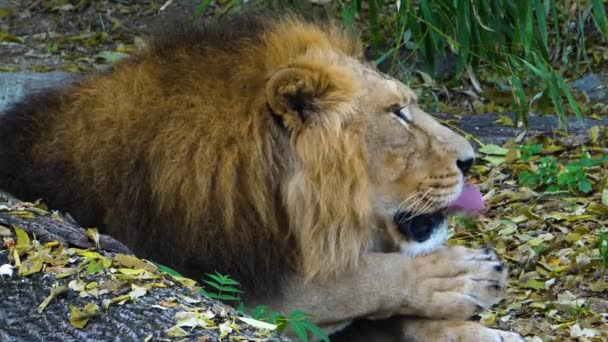 Close up of Lion laying down.