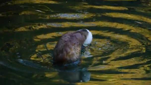 Detailní záběr na modrou kachnu na jezeře, jak se sama upravuje