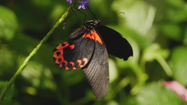 Makró felvétel egy skarlát mormon pillangóról egy napsütéses napon a növényen