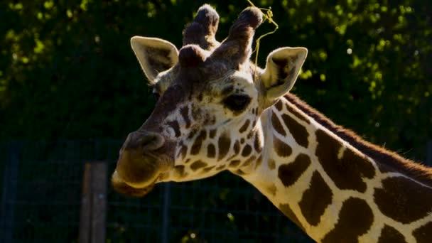 Detailní záběr žirafí hlavy v létě.