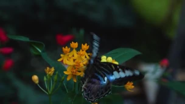 Nahaufnahme von Parthenos sylvia Schmetterling, der auf einer Blume sitzt