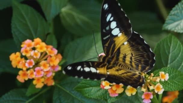 Detail motýla Parthenos sylvia sedícího na květině