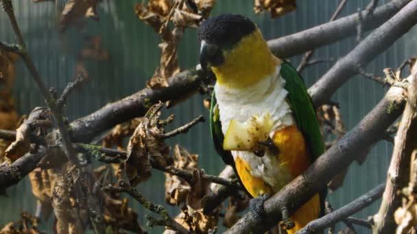 Černohlavý papoušek sedí na větvi a žvýká klacek