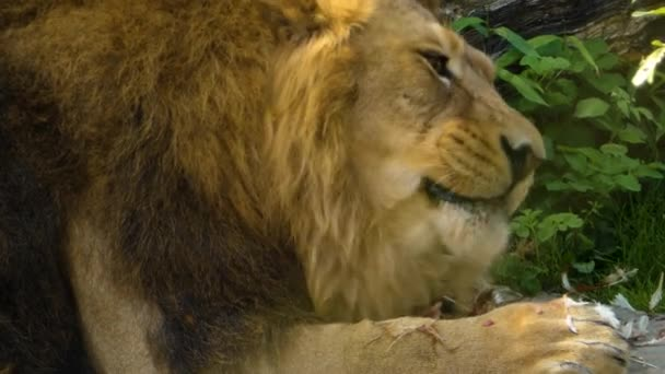 Close up of Lion eating a chicken on a sunny day