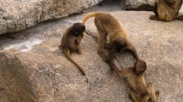 Bleeding heart monkey, also called gelada baboons, play fighting.