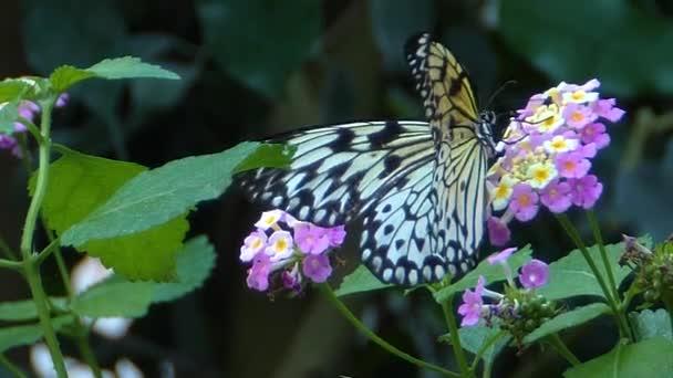 Közelkép egy fa nimfa pillangó gyűjtése nektár lassított felvétel