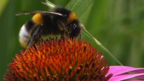 Close up of Bumblebee on echinacea flower collecting nectar.