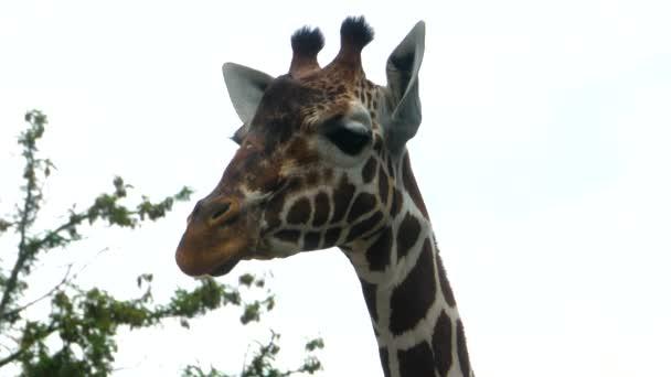 Detailní záběr žirafy hlavy pohybující se kolem na slunný den v létě.