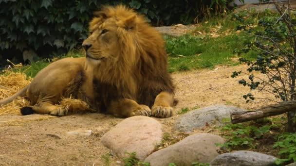 Lion resting on the ground