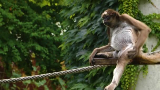 A spider monkey is sitting and scratching it self