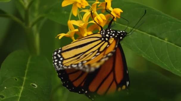 Zblízka monarcha motýla, sbírání nektar z květin.