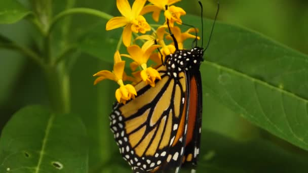 Közelkép uralkodó pillangó, gyűjtése nektár a virágok.