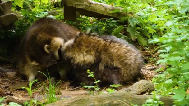 Male raccoon attempts to mate with female raccoon dog that is laying beside him